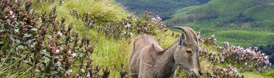 Nilgiri Tahr at Rajamala
