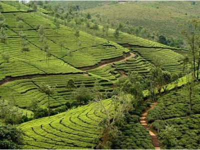 Tea Plantations at Munnar